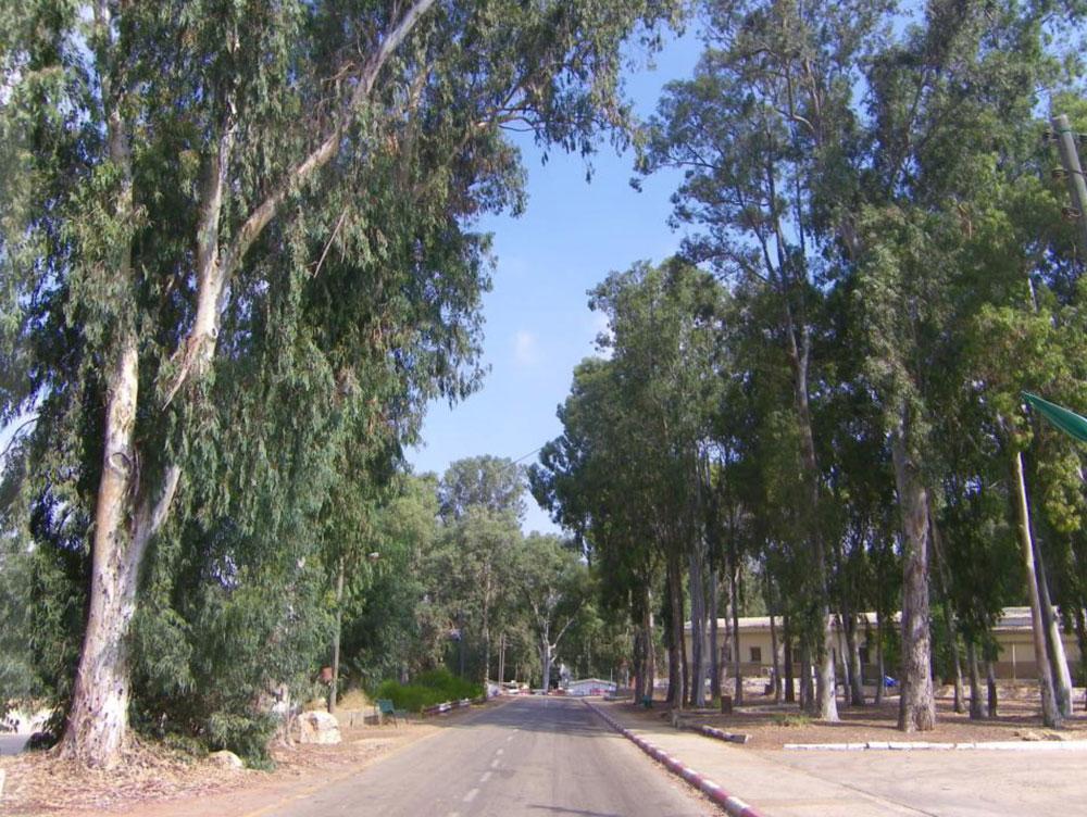 אחד המאפיינים הבולטים של המקום הוא הצמחייה העשירה: לצד מאות אקליפטוסים, שכמותם יש בבסיסים רבים אחרים, נשתלו במחנה עצי זית, וושינגטוניה, פיקוס, ברכיכטון, סיגלון, סיסם, תמר, פילפלון, כליל, קזוארינה ואורן. 556 עצים צפויים להיעקר עכשיו; 487 מיועדים לשימור, אבל חלקם מסומנים על דרכים עתידיות, כך שהם עלולים להיפגע במהלך הבנייה (צילום: אדר' ליבנה שואף-רונן)