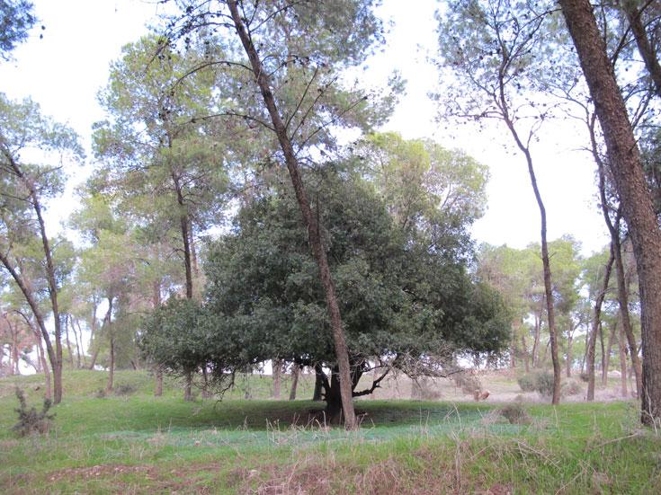 זהו יער כפר החורש, הסמוך לנצרת, שניטע על חורבות הכפר מעלול. בני הכפר לא שכחו מהיכן באו, ורבים מהם מתכננים לחזור (צילום: מיכאל יעקבסון)