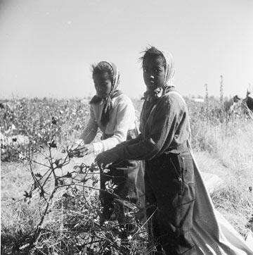 נערות קוטפות כותנה במיסיסיפי, 1950 (צילום: gettyimages)