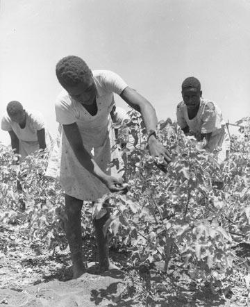 קוטפי כותנה בסודן, 1950 (צילום: gettyimages)