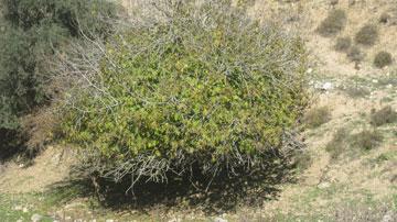 עץ תאנה בנחל גוש חלב בשיא השלכת (צילום: דרור זבדי)