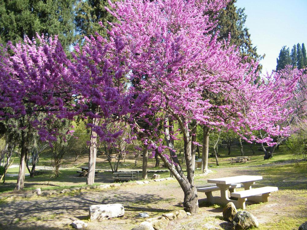 גן לאומי בית שערים. העצים המלבלבים בפארק זה, כמו שאר ההחלטות הנופיות, הטביעו חותם ברחבי הארץ (צילום: דן צור וליאור וולף אדריכלי נוף)