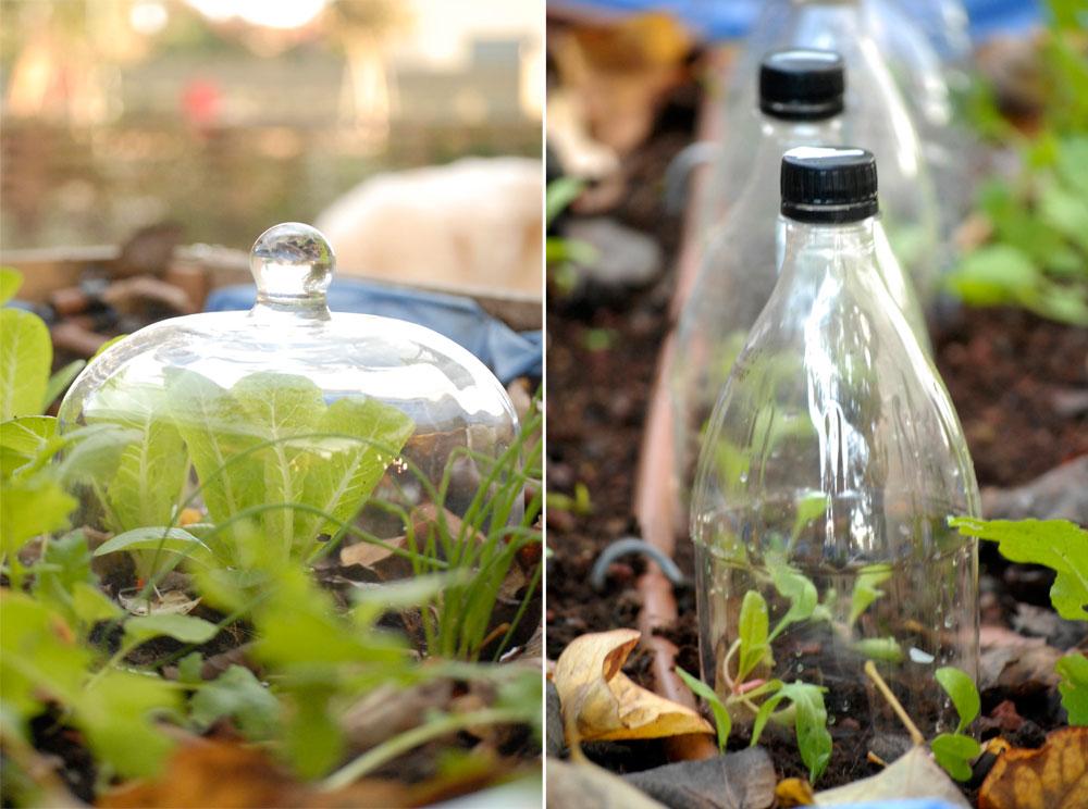 מיני חממות מפעמון זכוכית ובקבוק שתיה מעל שתילי ירקות (צילום: שושן דגן )