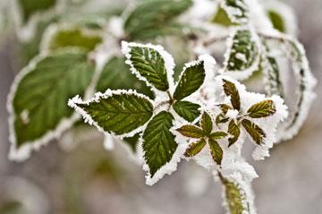 צמחים הזוכים לשמש מרובה ולאקלים ים תיכוני נוח ברוב חודשי השנה רגישים לטמפרטורות נמוכות (צילום: shutterstock)