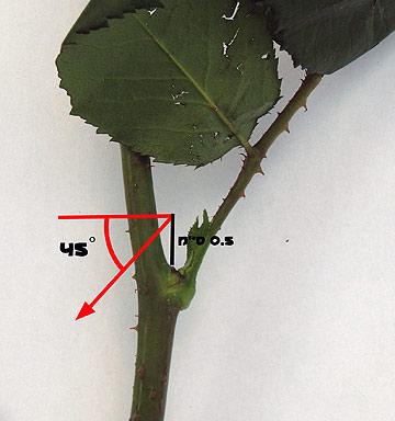 גיזום נכון של ורדים. השיטה הבריטית (צילום: גלית וינקלר)