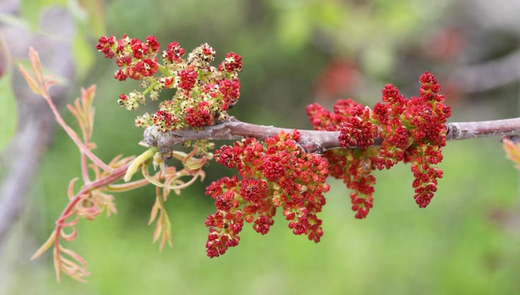 אלה ארצישראלית. הכל אדום (צילום: שרה גולד, אתר צמח השדה)