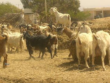 פזיזות ועליזות. עדר עיזים (צילום: אריאלה אפללו)