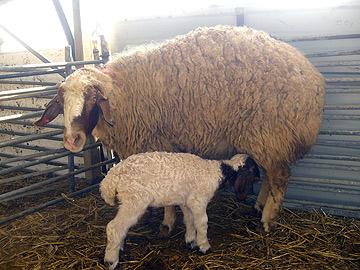 סיור מודרך במשק הצאן. עין הבשור (צילום: אריאלה אפללו)