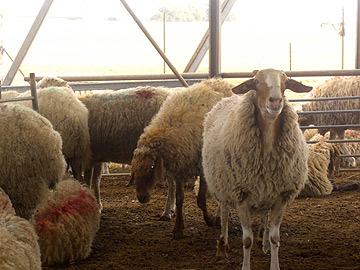 כבשים משובחות. מחלבת צאלה, עין הבשור (צילום: אריאלה אפללו)