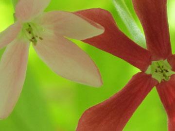 הפרח מתחיל בצבע לבן, ממשיך לוורוד ומסיים באדום שני (צילום: גלית רודה )