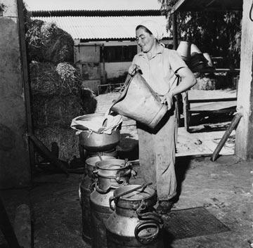 החלב שיוצר היה חייב להימכר באותו יום. ייצור חלב בקיבוץ גבעת ברנר בראשית שנות ה-50 (צילום: gettyimages)