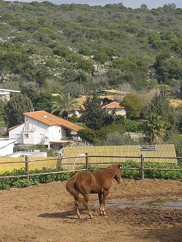 סוסים רגועים ונינוחים. חוות מכורה (צילום: אריאלה אפללו)