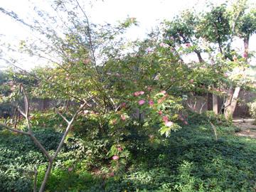 קליאנדרה ורודה. עץ קטן או שיח גדול (צילום: גלית וינקלר)