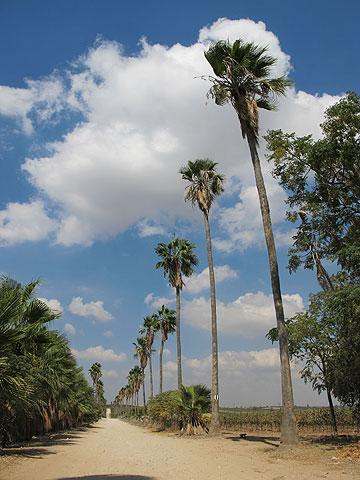 שדרת עצי וושינגטוניות בסמוך ליער חולדה (צילום: מיכאל יעקובסון)