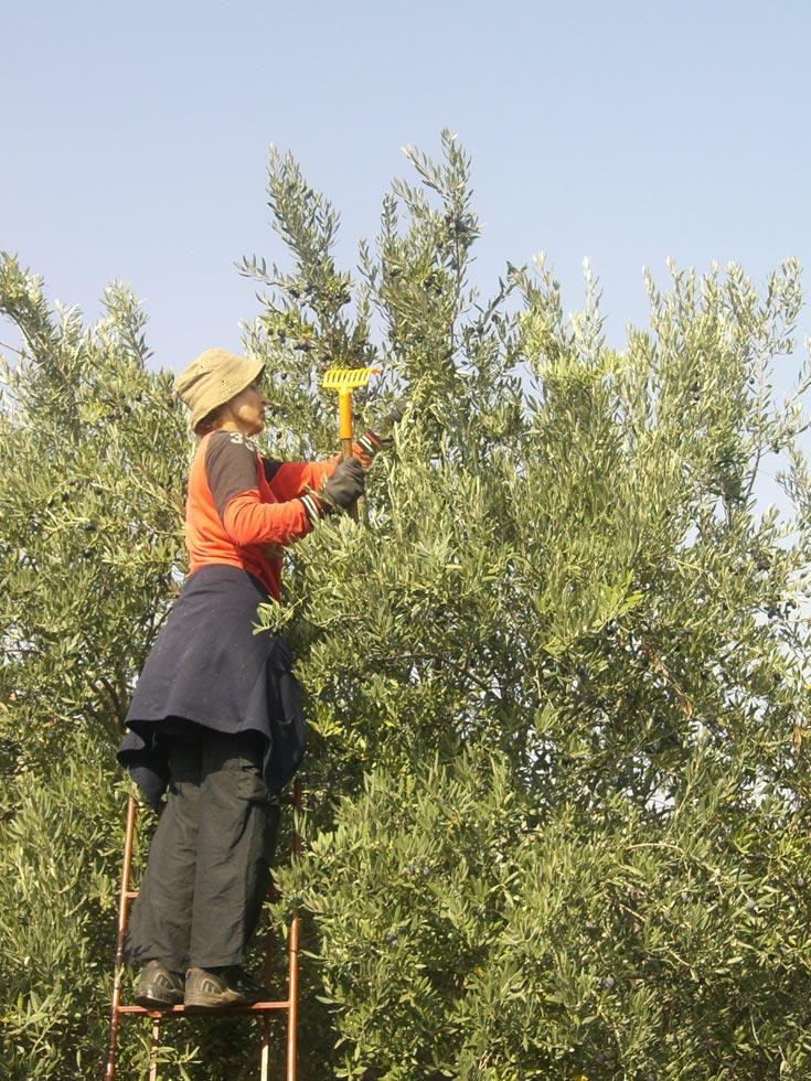 מסיק זיתים בשדה אליעזר (צילום: אריאלה אפללו)