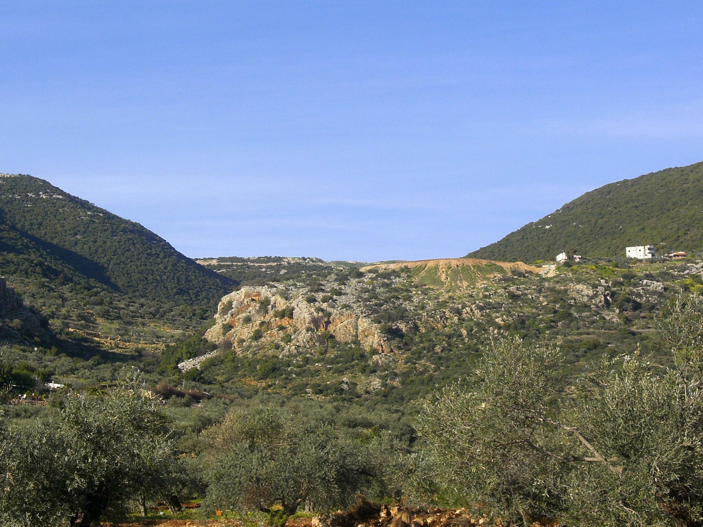 שורשים היסטוריים. מטעי זיתים עתיקים בגליל (צילום: אריאלה אפללו)