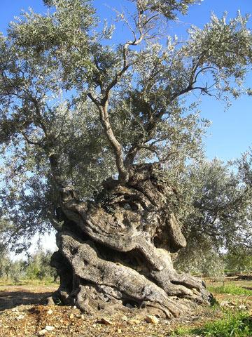 שובר מחסומים. עץ זית עתיק בגליל (צילום: אריאלה אפללו)
