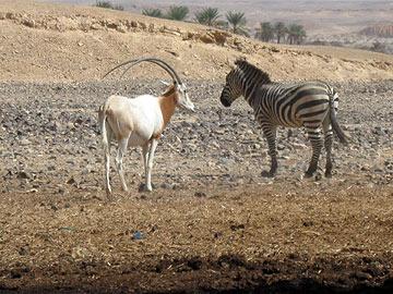 תיבת נוח בחוות האנטילופות (צילום: אריאלה אפללו)