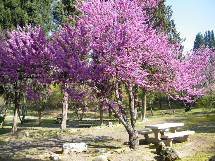 עשור ראשון: גן לאומי בית שערים. שימוש בצמחייה מקומית מתוך רגישות. פריחת עצי הכליל מוסיפה למראה המיוחד (צילום: דן צור וליאור וולף אדריכלי נוף)