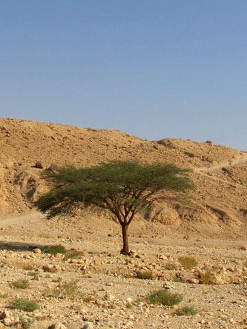 מנוחה תחת עץ השיטה (צילום: דרור זבדי)