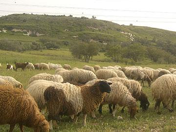 בין מנוחה לנחלה. כבשים בפעולה (צילום: אריאלה אפללו)