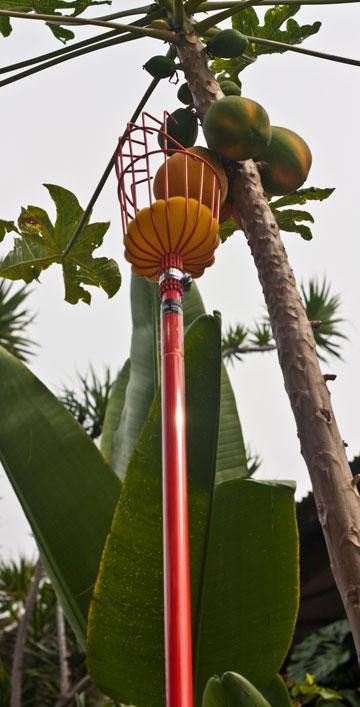 הורדת הפירות מעץ הגובה, בעזרת מיכשור מתאים (באדיבות גן ונוף)