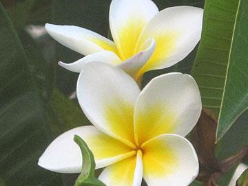 בנות הוואי שוזרות את הפרחים לכדי שרשרת. אפשר גם לקשט את השיער (צילום: יובל רודה)