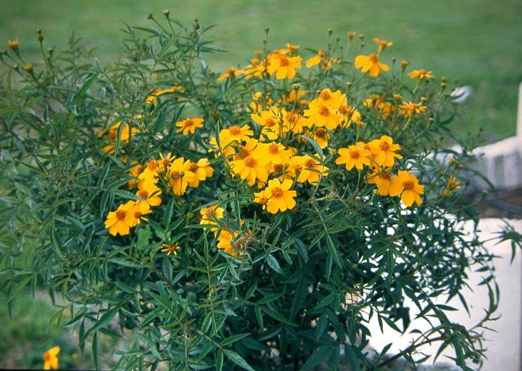 טגטס למוני, רב שנתי ופריחתו מרשימה. שלבו אותו עם כמה צמחים משלימים, ותהנו מגינה חסכונית הפורחת כל השנה (צילום: סימה קגן )