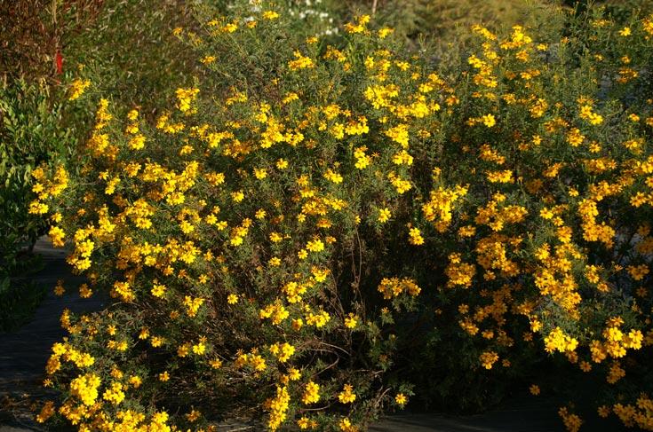 עדיף לשתול אותו בשמש מלאה או צל חלקי, בקרקעות מנוקזות (צילום: סימה קגן )