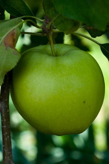 תפוח עץ, אינו פרי אמיתי מבחינה בוטנית. מה היתה אומרת שלגיה? (צילום: באדיבות גן ונוף )